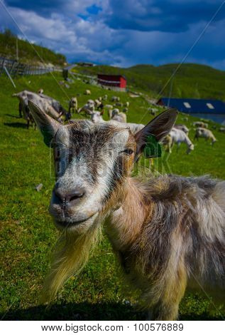 VALDRES, NORWAY - 6 JULY, 2015: Mountain goats wandering freely in beautiful sorroundings located at