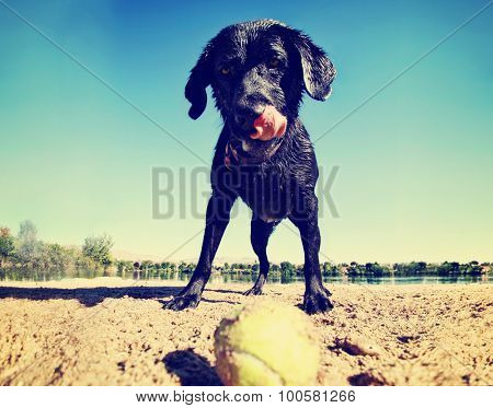 a black lab looking at a tennis ball on the sand toned with a retro vintage instagram filter app or action effect