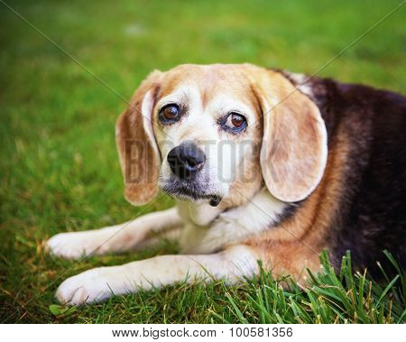 a cute senior beagle looking off in the distance in a park or backyard on fresh green lawn