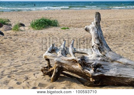 Snag On Wild Sandy Beach Of Baltic Sea