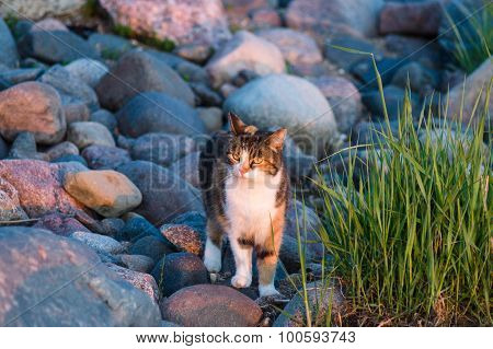 Cat At Rocky Coast In Sunset Light