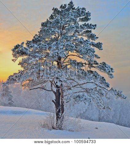 Winter Landscape With Pine Tree