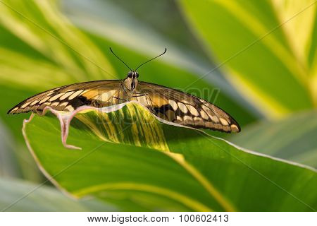 Butterfly Papilio Glaucus,Tiger Swallowtail