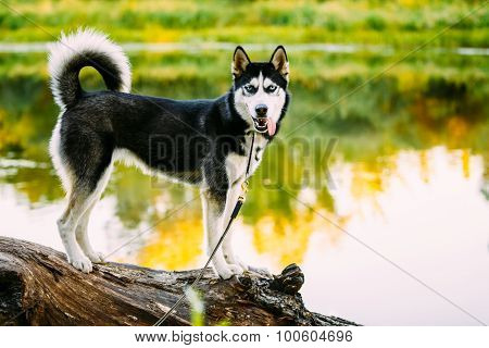 Young Happy Husky Eskimo Dog Sitting On Trunk Of A Fallen Tree