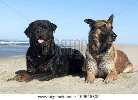 Rottweiler And Malinois