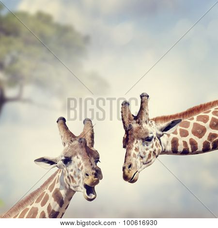 Picture of Two Adult Giraffes