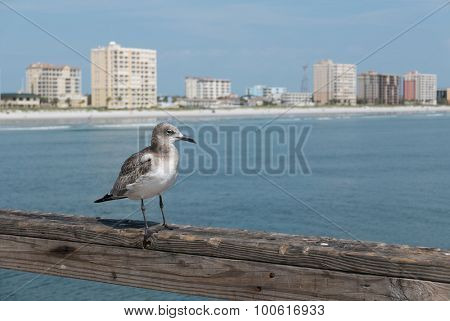 JACKSONVILLE BEACH, FL-AUGUST 27, 2015: A seagull looks over Jacksonville Beach from the pier. The population of Jacksonville Beach was 20,362 at the 2010 census.