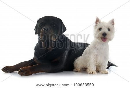 West Highland Terrier And Rottweiler