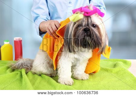 Hairdresser towel Shih Tzu dog in barbershop, isolated on white