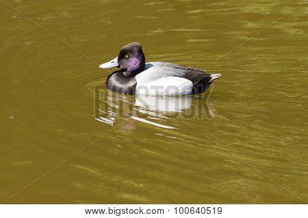 Tufted Duck - Aythya Fuligula
