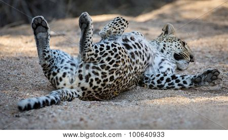 Leopard Resting On A River Bed