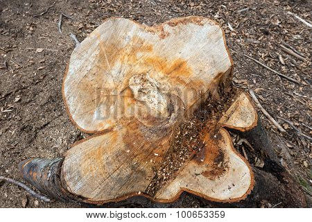 Chopped Tree Trunk In The Woods