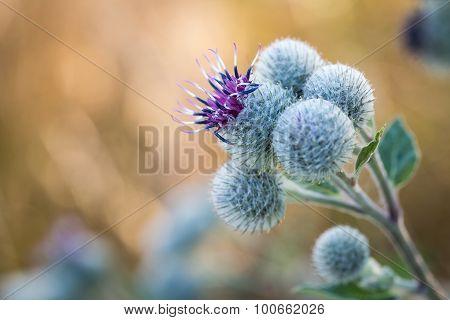 Flowering Great Burdock (arctium Lappa)