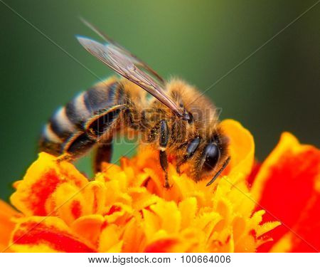 Honey bee on the flower