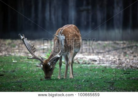 Cute small deer grazing in the forest