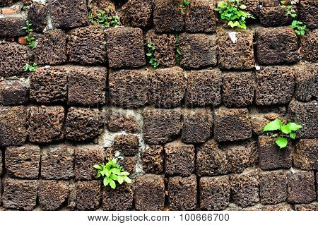 Little Plant Grow On Volcanic Pumice Stone Wall