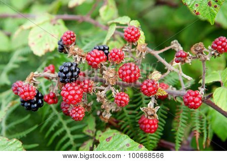 Plant full of red and black blackberries