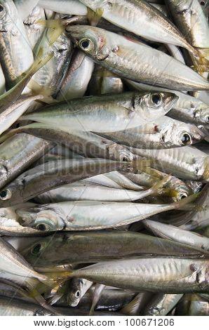 freshly caught raw fish (mackerel)