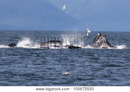 Humpback Whales Bubble Net Feeding