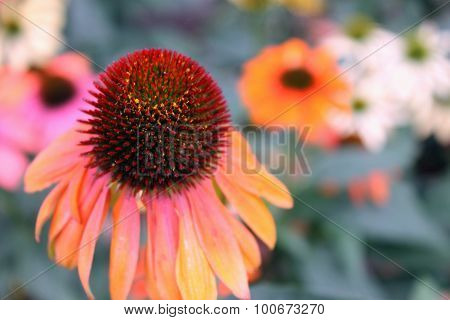Close Up Of Echinacea Flowers