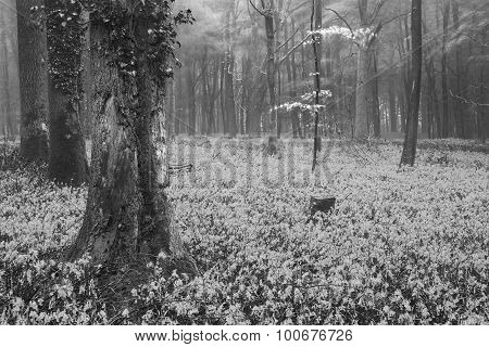 Vibrant Bluebell Carpet Spring Forest Foggy Landscape In Black And White