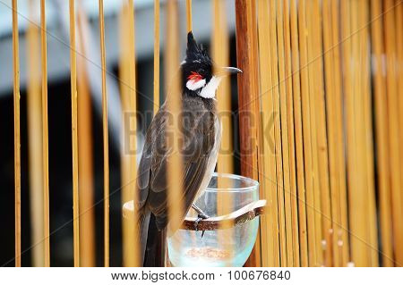 red-whiskered bulbul in the cage