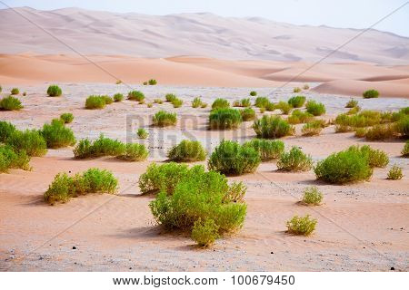 Surviving plants on the sand dunes of Liwa Oasis United Arab Emirates