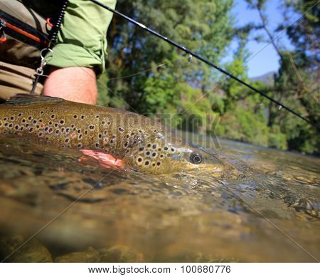 Brown trout being taken out of water by fisherman