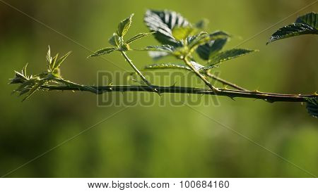 Young Rose Branch