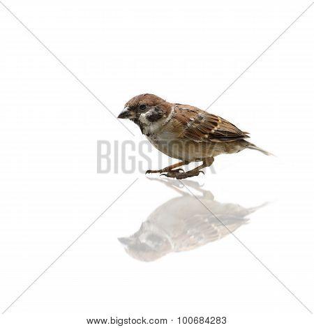 (bird) Eurasian Tree Sparrow Isolate On White Background