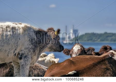 Cows Close To Sea