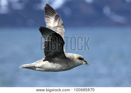Arctic bird in flight Spitsbergen Svalbard Norway