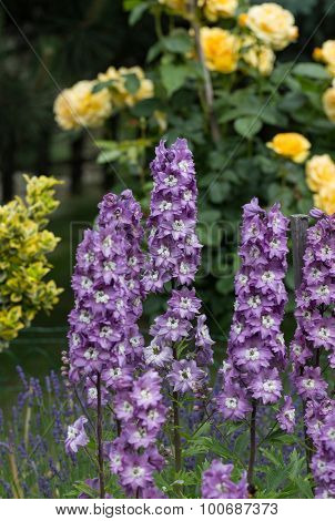 Purple Delphinium Flower and yellow roses in Garden