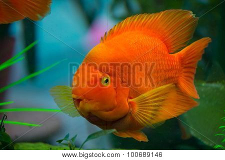 Beautiful red parrot cichlid in an aquarium