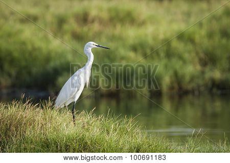 Little Egret In Arugam Bay Lagoon, Sri Lanka