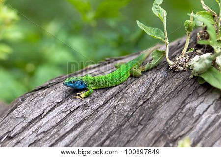 Green Lizard With A Long Tail Standing On A Piece Of Wood