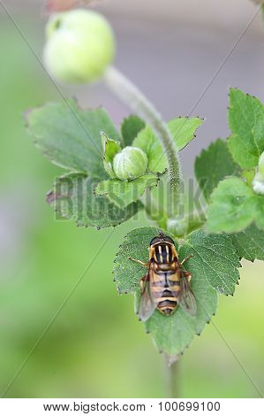 Bee on Japanese Anemone - Whirlwind