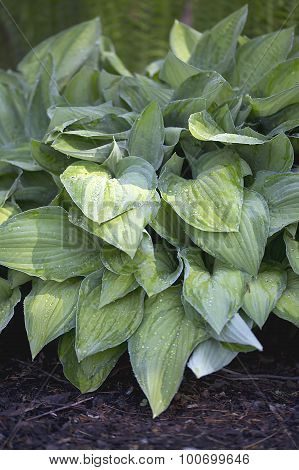 Hosta - Fortunei Albopicta