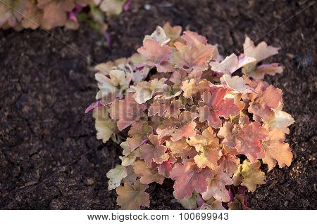 Heuchera - Little Cutie Series - Blondie