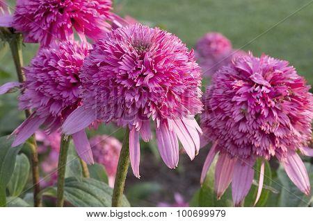 Echinacea - Razzmatazz Ball