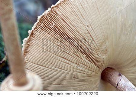 The underside of a large mushroom