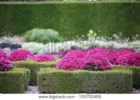 Pink Chrysanthemum and Hedges