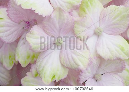 Pink Hydrangea - Fantasia