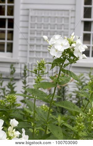 White Phlox - Snow Cap