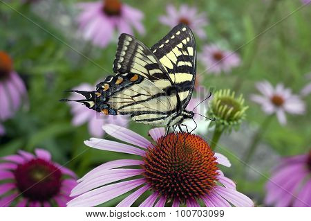 Tiger Swallowtail Butterfly - Papilio canadensis