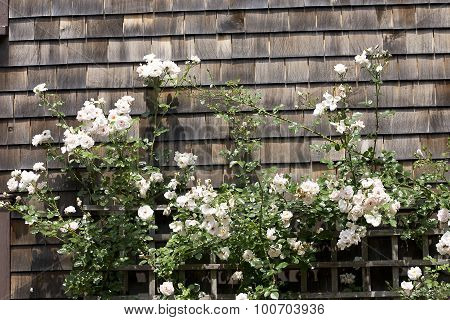 Trellis with White Climbing Roses