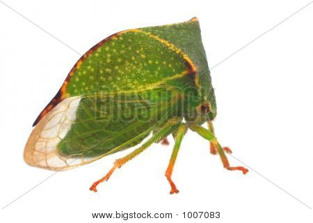 Buffalo Treehopper (Stictocephala Bisonia)