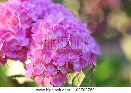 Hydrangea macrophylla - Endless Summer - The Original - Bailmer