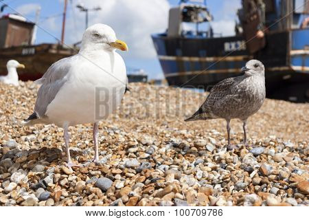Seagulls At The Stade