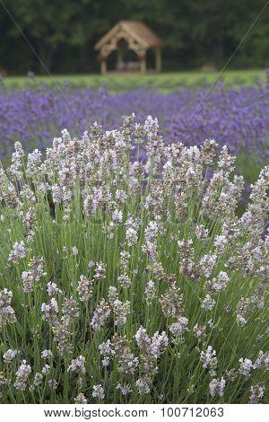 Lavender - Lavandula angustifolia - Melissa, (white), Lavender - Grosso' (purple),